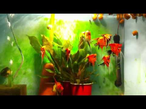 Red Orange Angelfish