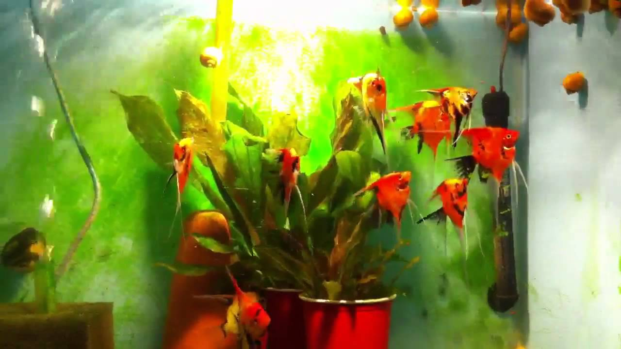 Red orange angelfish youtube for Red devil fish for sale