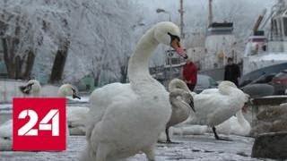 В Балтийске зимуют десятки лебедей - Россия 24