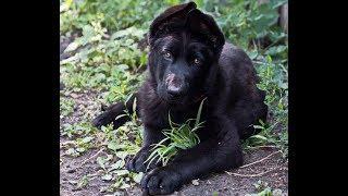 Как взрослеет черная немецкая овчарка
