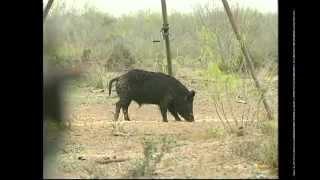 Bow Hunting Texas Hogs