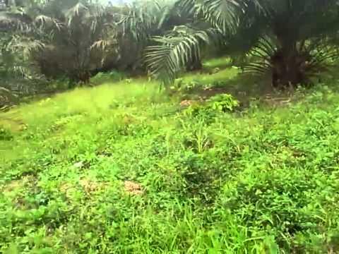 Oil palm farming ghana