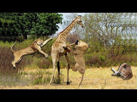 Wild Animals Fighting - Lion Attack Giraffe