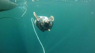 Военная служба ластоногих: в Мурманске тюленей готовят к выполнению боевых задач