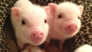 귀여운 마이크로 돼지 - 귀여운 미니 돼지 동영상. 편집