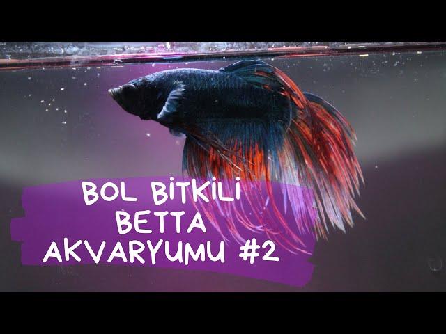 BettaSeyir #2 (Betta splendens - Kavgacı Siyam Balığı) - High Tech Nano Akvaryum