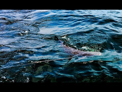 YOU HAVE  NEVER SEEN A COBIA VIDEO LIKE THIS!!!!