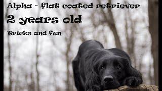 Dog tricks and fun | Flat coated retriever Alpha  2 year old