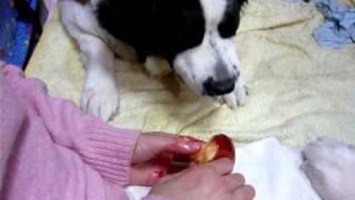 仲良く順番にリンゴ飴を食べています.