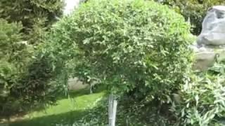 видео Ива пурпурная Нана, описание и особенности выращивания кустарника, уход и размножение