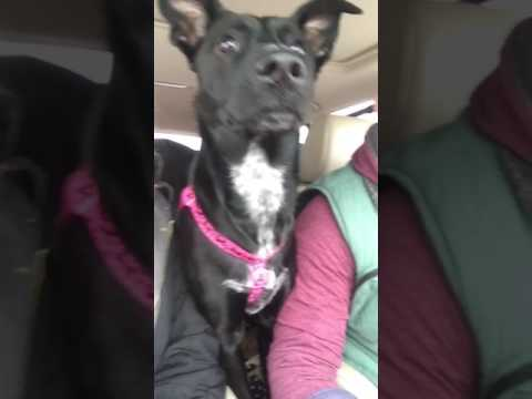 Dog honks horn at other dogs when she wants to play!