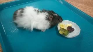 Cookie the hamster visiting Wagner Preschool