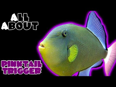 All About The Pinktail Triggerfish