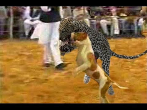 Dogs who actually fought leopards - Only in India!!!