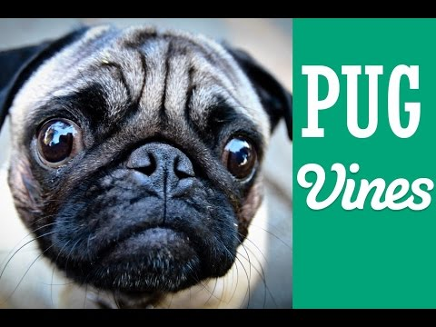 Cats and dogs: Cute Pug Vines | funny dog videos | adopt a pet