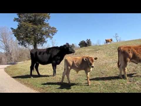 VCCA(vacas)