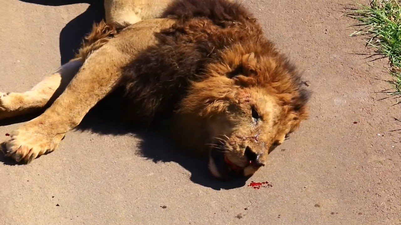 Download Top 10 Moments Lions are Killed by Their Prey