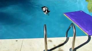 Super Smart Springer Spaniel Knows How To Climb The Ladder To Get Out Of The Pool.