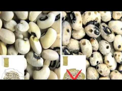 Triple Bagging of Cowpea Seeds in Zarma (accent from Niger) (No Moon version)