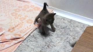 Игра бурманских котят.  Бурма.