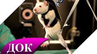 Крысы - подземный разум. (Секретные территории). Документальный фильм