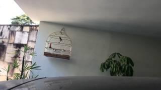 Curió - Supremo 17/07/2017