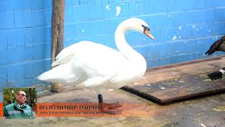 Про зимівлю лебедів на водоймах