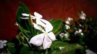 Flowers : Fleurs