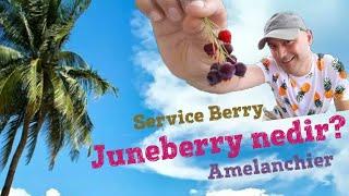 Juneberry, amalanchier lamarckii meyvesi nedir, nerede yetişir, besin değerleri nelerdir?