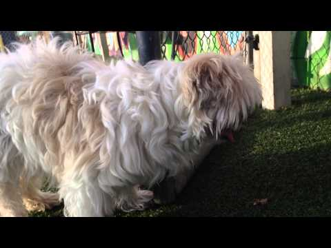RESCUED!! LHASA APSO, 16 yrs old, vision impaired
