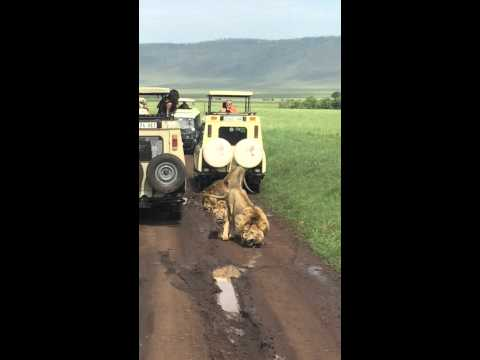Lions Cubs Ngorongoro Conservation Area Tanzania go ahead tours