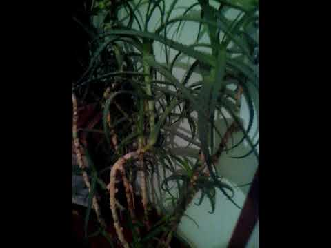 Комнатное растение,старое алоэ