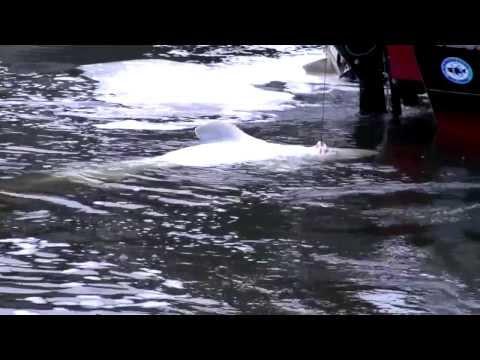 WWGS Presents: Willamette River White Sturgeon