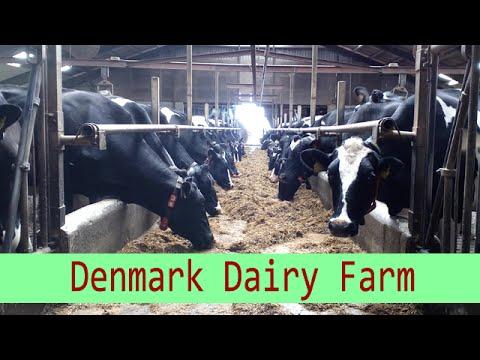 Denmark Dairy Farm | Milking Robot