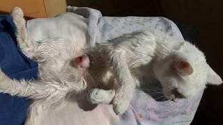 Кошечка с раковой опухолью
