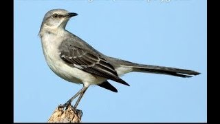 Northern Mockingbird (Mimus polyglottos) Singing at night June 29, 2012
