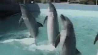 Combat dolphins and navy sea lions: meet the military sea mammals thumbnail