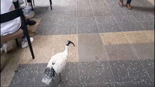 [호주이야기] 새가 날아든다!//브리즈번
