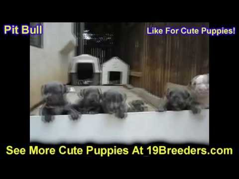 Pitbull, Puppies, Dogs, For Sale, In Birmingham, Alabama, AL, 19Breeders, Huntsville, Dothan