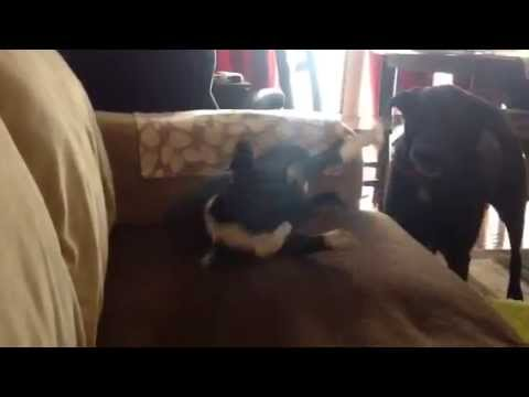 Funny Boston Terrier vs Lab  | Boston Terribles
