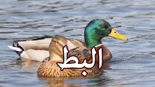 الحيوانات - البط