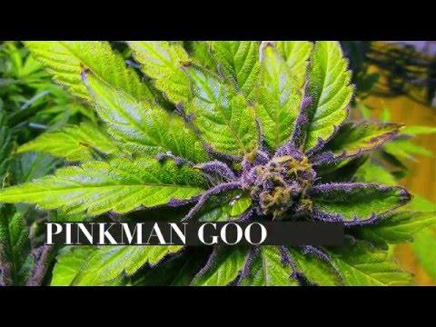 Seed to Strain: Pinkman Goo