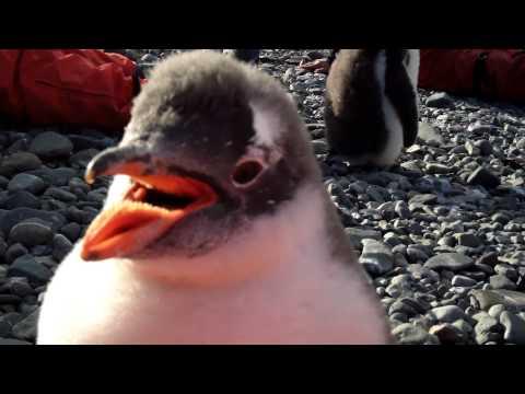Playful Penguin in Antarctica