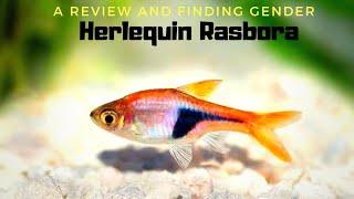 All in One Peaceful Schooling Fish   Harlequin Rasbora