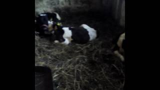 Moje zwierzęta cielaki,kozy,siwinie i krowy