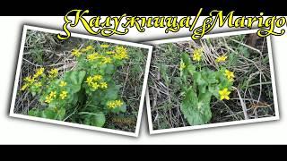 видео Семейство Лютиковые — Ranunculaceae.