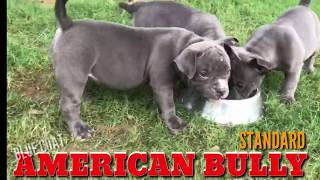 Blue Coat American Bullies Heavy Quality Standard Size Puppies for Sale (India) American Bullies.