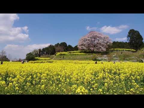 まさに桃源郷 佐賀県武雄市馬場の山桜 20190403