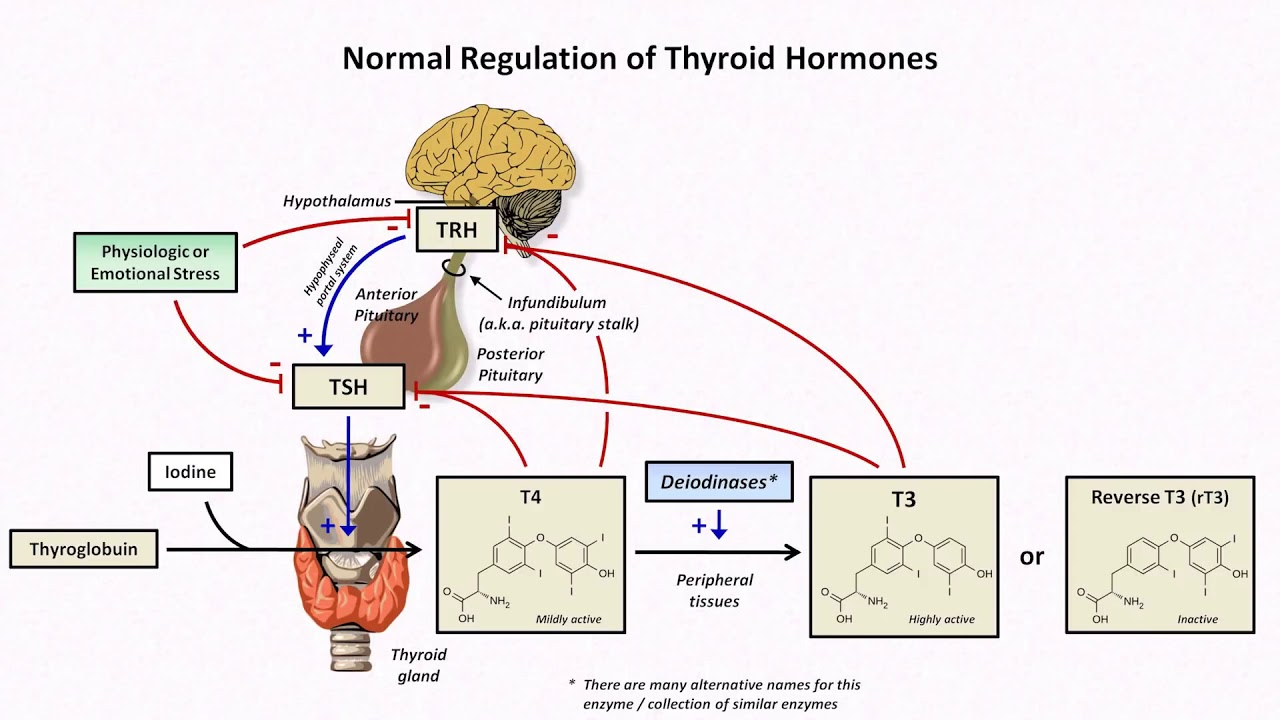 Thyroid Hormones And Thyroid Function Tests Youtube