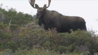 Girl Hunting Giant Moose in Newfoundland